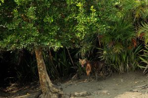 sunderban-tiger-cubs-mother-sundarban