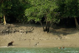 sunderban-tiger-cubs-mother-sundarban-swimming