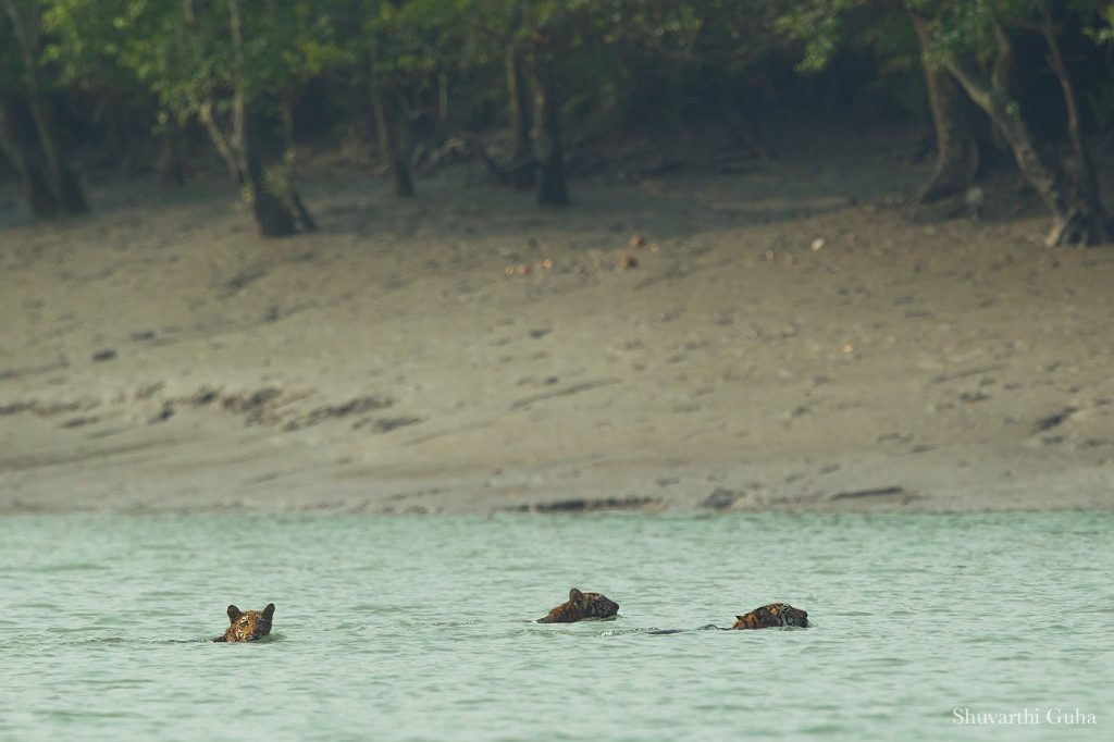 A One in a Million Sighting – at Sunderban National Park