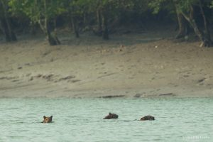 sunderban-tiger-cubs-mother-swimming-sundarban