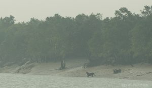 sunderban-tiger-cubs-sighting-shuvarthi-guha