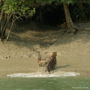 sunderban-tiger-cubs-playing-mother-sundarban